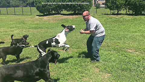 Great Danes and Friends Have Fun Roughhousing
