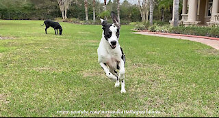 Funny Great Danes Would Rather Play Than Sit And Stay
