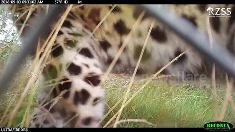 Two rare Amur leopards born in Scotland's Highland Wildlife Park