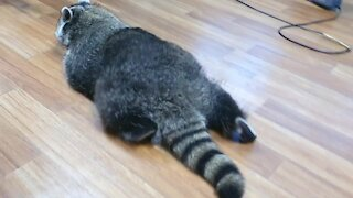 Lazy Raccoon crawls like a turtle to eat snacks