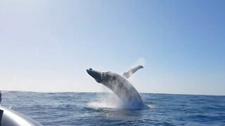 Massive humpback whale performs epic back-to-back breaches