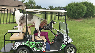 Playful Great Danes Love Going For a Golf Cart Ride