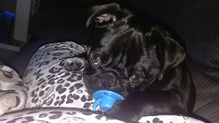 Pug puppy loves to suck on pacifier
