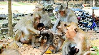 Alpha Monkey Support Weaning Baby She Help Real Mom Drag Head Baby - Video