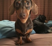 Dachshund barks at completely harmless object - Video