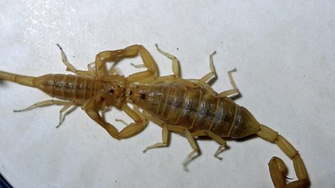 It takes two to tango: Scorpions dance with each other in act of mating ritual