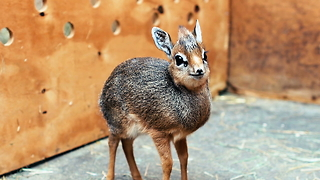 Adorable Baby Dik-Dik Antelope Is Only 7.5 Inches Tall | ZooBorns - Video