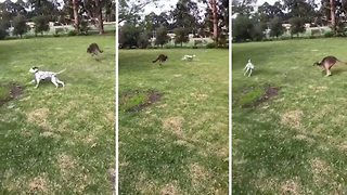 Playful dalmatian and kangaroo bound around after each other