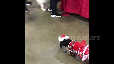 This wheelchaired pup is all ready for Christmas