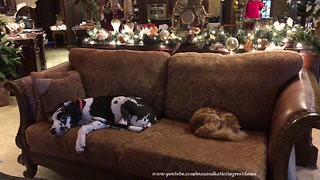 Great Dane Puppy and Cat Enjoy Nap Time Together  - Video