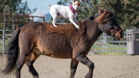 Dally and Spanky on action -funny footage of dog riding horse