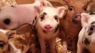 Mamma pig comes to the aid of piglets - Video
