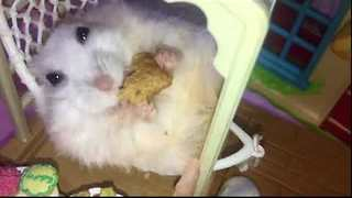 Adorable Hamster Relaxes With Snack - Video