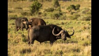 Brave buffaloes save baby elephant from hungry lions