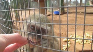 Adorable rescued baby monkey - Video