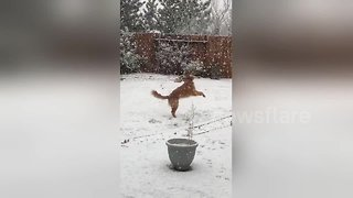 Golden retriever ecstatic to be playing in snow for first time - Video
