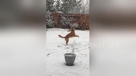Golden retriever ecstatic to be playing in snow for first time