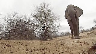 Lights Camera Elephant - Bull Stars In GoPro Camera Show - Video