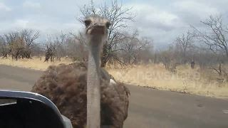 Ostrich pecks tourist on the head - Video