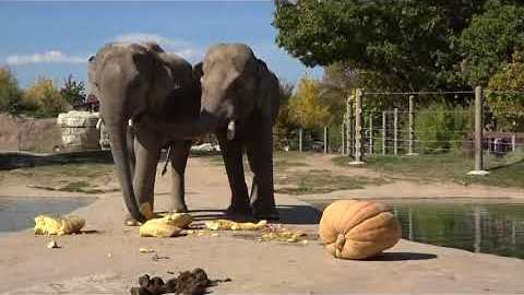 Denver Zoo Elephants Enjoy Pumpkin Smashing