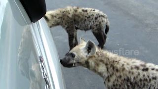 Hyenas chew on tourist vehicle in Kruger Park, South Africa - Video