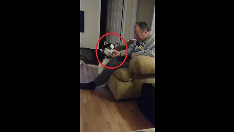 Husky hilariously turns himself into squeaker toy