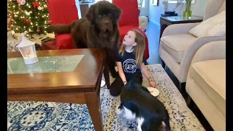 Little girl gives her huge dog and little puppy Christmas treats