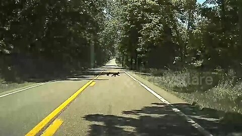 Bear with us! Mama bear and four cubs make driver wait as they dash across US road