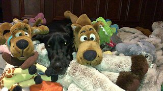 Great Dane hides in toys just like E.T.