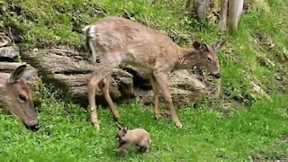 Friendly dwarf rabbit just wants to play with the wild deer