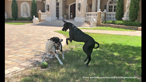 Great Danes Have Great Fun Playing Tag With Watermelon ~ Fun With Fruit