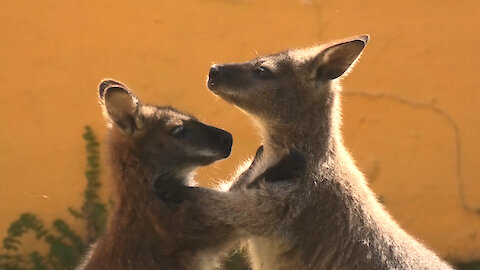 Valentine's Day Love Is In The Air For These Kangaroos