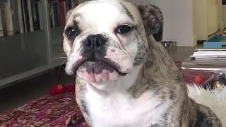 Sleepy Bulldog complains about her whining sister Hopelily