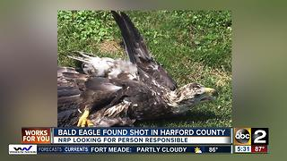 MD Natural Resources Police searching for who shot bald eagle in Harford County - Video