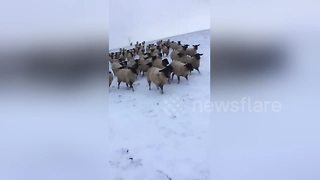 Sheep in hot pursuit of farmer as he skis through snowy field - Video