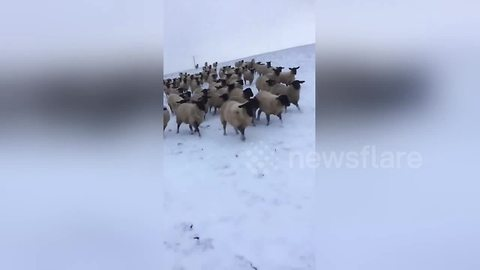 Sheep in hot pursuit of farmer as he skis through snowy field