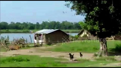 Dogs chase off vicious tiger, saving children from near attack in India village