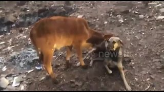 Dog breastfeeds calf after mother cow falls sick from eating plastic - Video