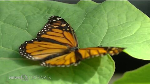 Pollination paradises alongside our highways are helping bring back vanishing monarch butterflies while saving millions of dollars