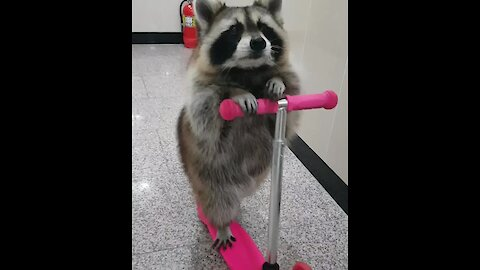 Clever Raccoon Learns How To Ride A Scooter