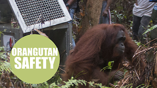Pictures show baby orangutan saved from danger
