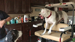 Funny Great Dane Complains About Getting Off the Golf Cart   - Video