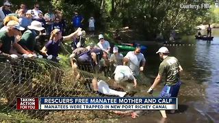 Rescuers free manatee mother and calf - Video