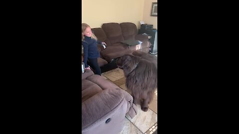 Giant Newfoundland barrels down the stairs in search of best friend