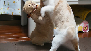 Adorable cats fighting  - Video