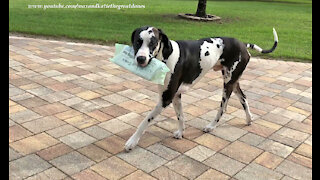 Training Great Danes to deliver the newspaper is a work in progress