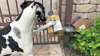 Happy Great Danes Greet Amazon Driver And Open Packages