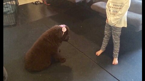 Sweet Newfoundland puppy gets dressed up