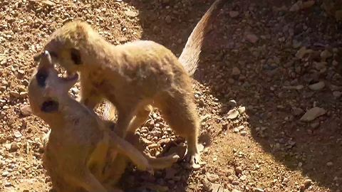 """Vicious"" meerkat fight caught on camera"