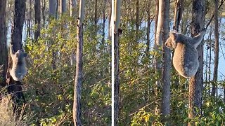 ENERGETIC KOALA LEAPS FROM TREE TO TREE